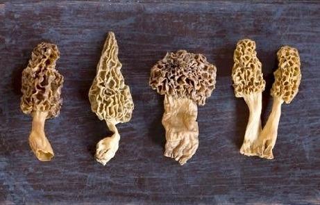 discover morel mushrooms
